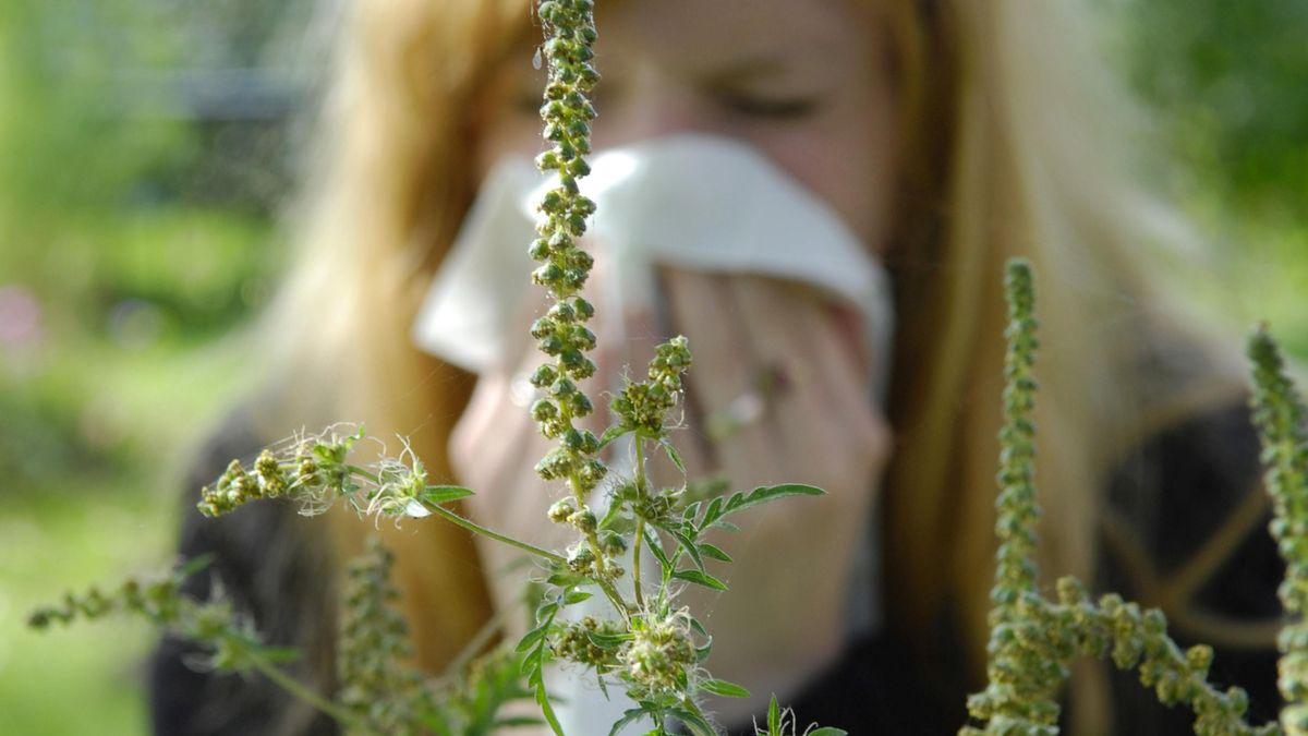 Im Vordergrund eine Ambrosiapflanze, im Hintergrund in der Unschärfe eine Frau, die ins Taschentuch niest.f