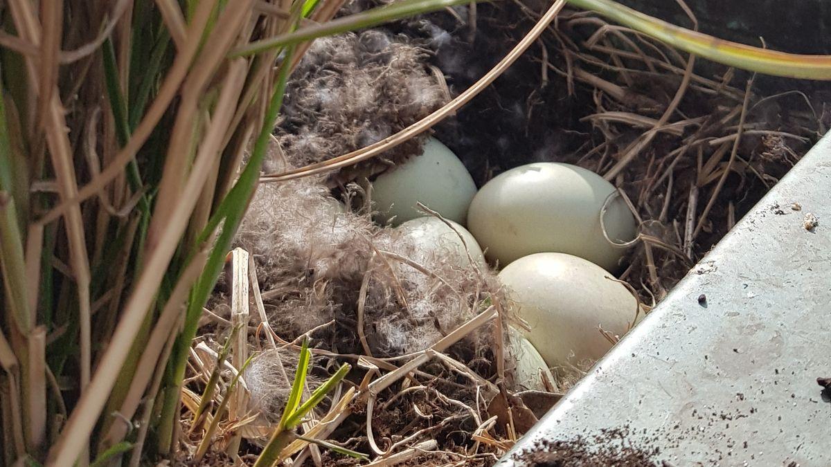 Ente Emma legt jeden Tag ein Ei