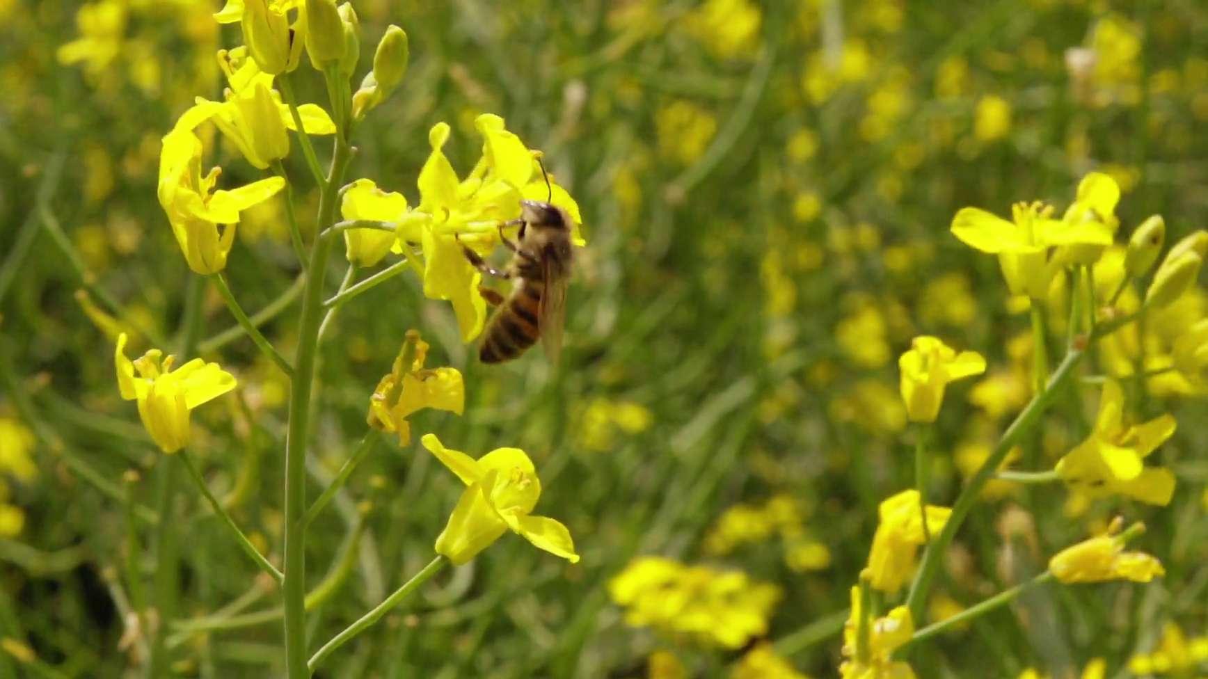 Biene auf Rapspflanze
