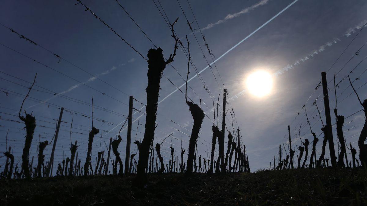 Kahle Weinstöcke stehen am Schwanberg bei Iphofen in der Sonne.
