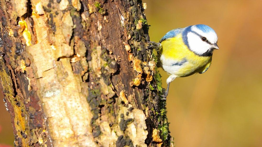 """Die Blaumeise steht im Mittelpunkt der """"Stunde der Wintervögel"""""""
