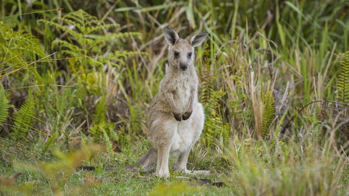 Ein Känguru in einer Gras- und Farnlandschaft