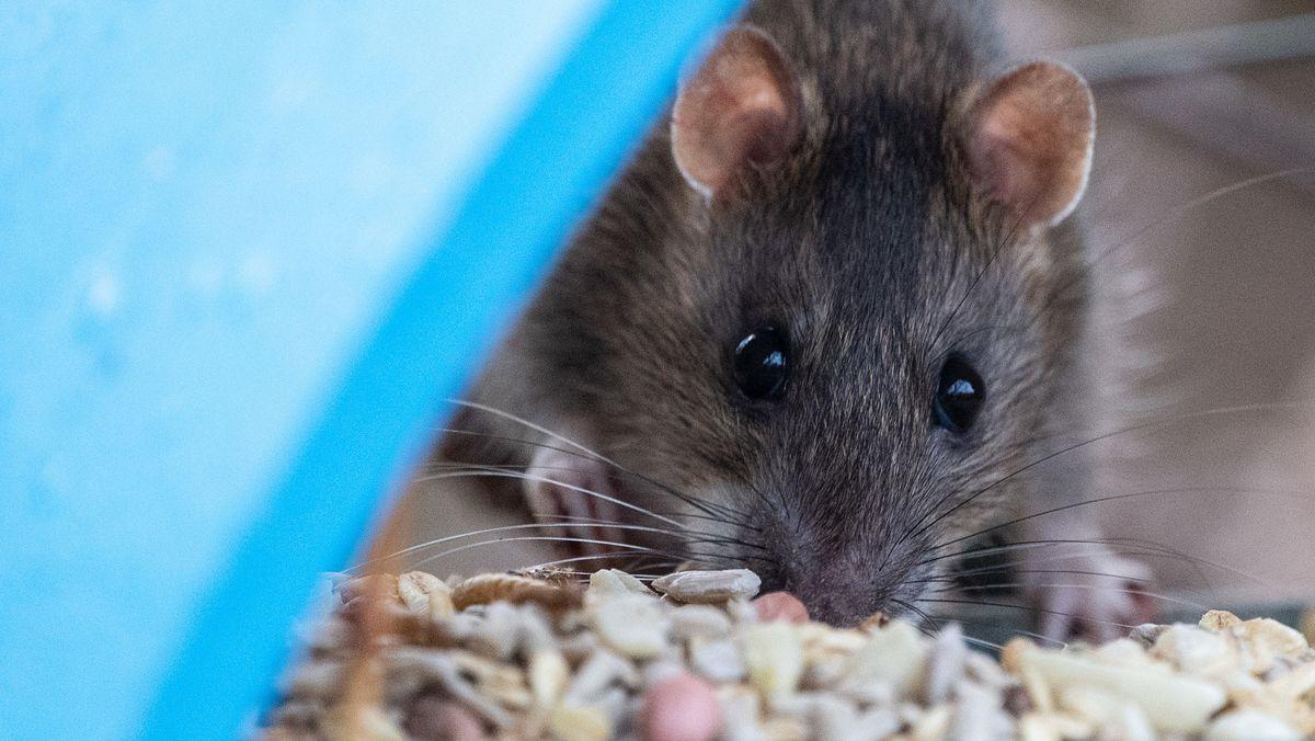 Eine diebische Ratte holt Futter aus einem Vogelhaus.