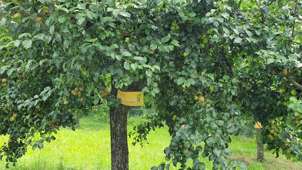 Markierter Obstbaum der Allianz Schweinfurter OberLand