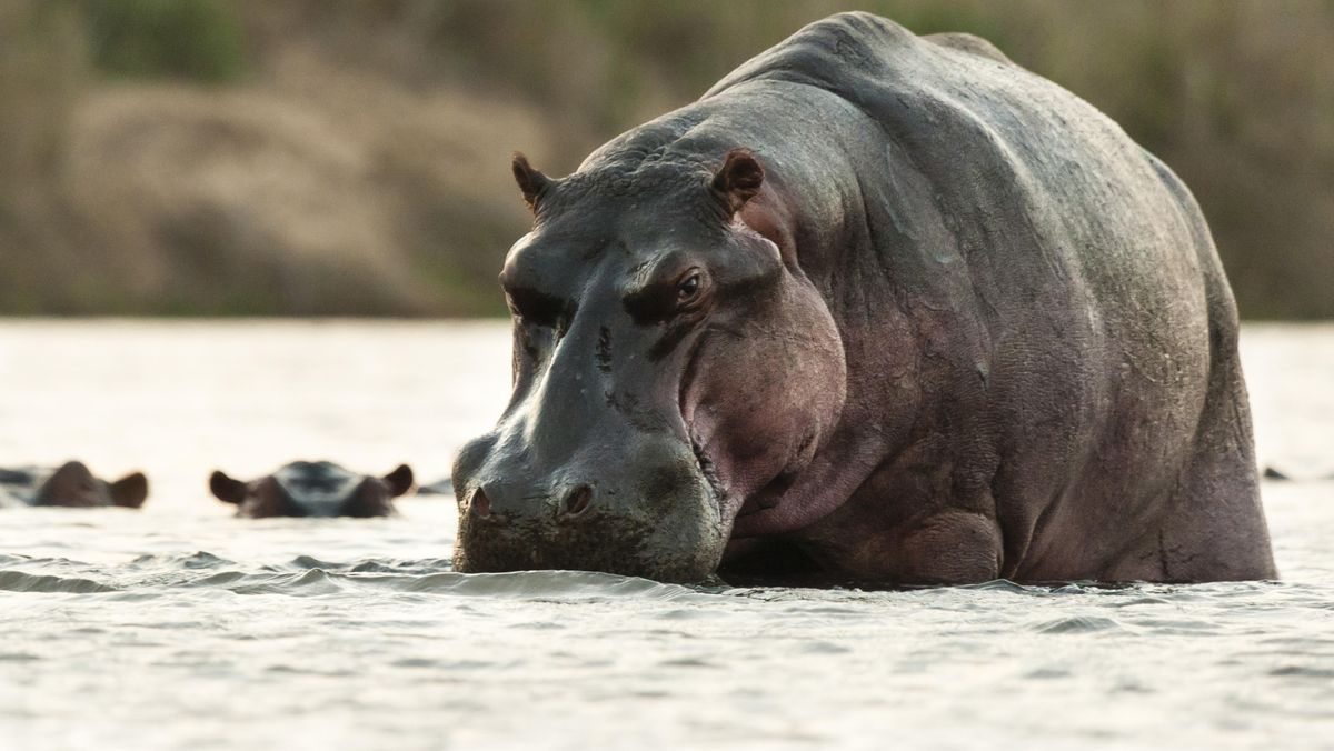 Nilpferd in einem Fluss im Krüger Nationalpark in Südafrika