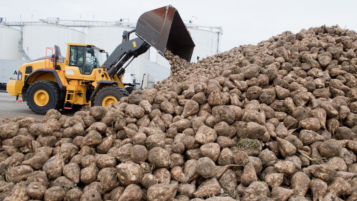 Corona und Trockenheit: Zuckerrübenbauern in der Krise