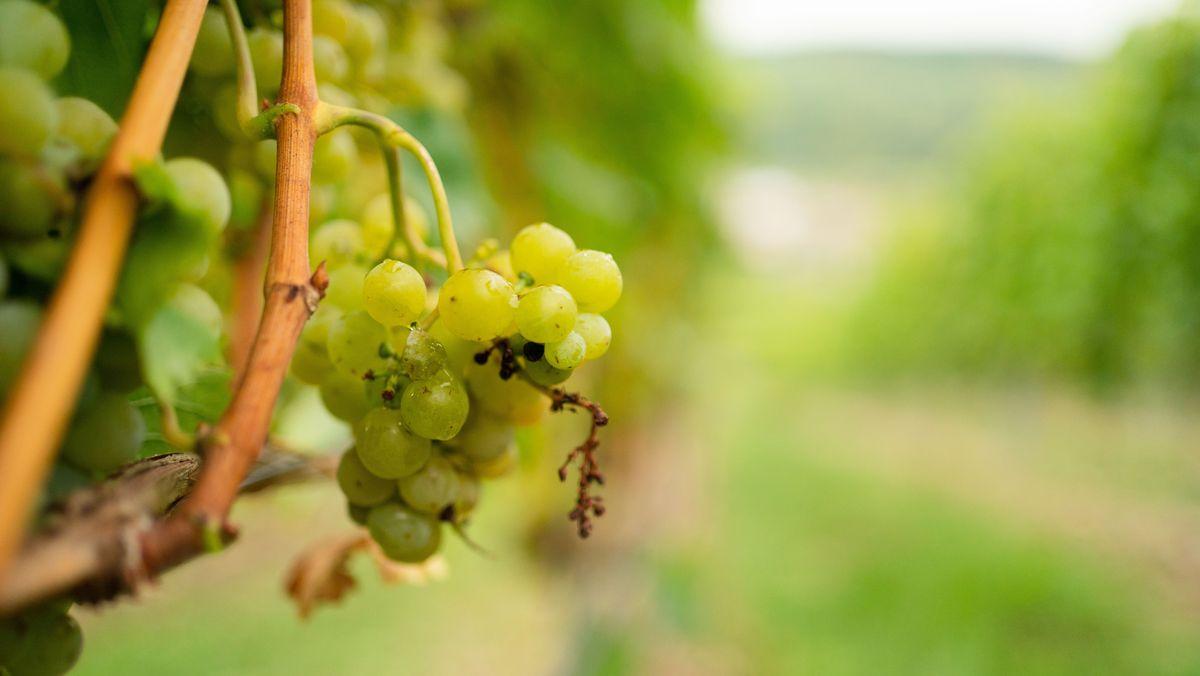 Weintrauben an einem Rebstock
