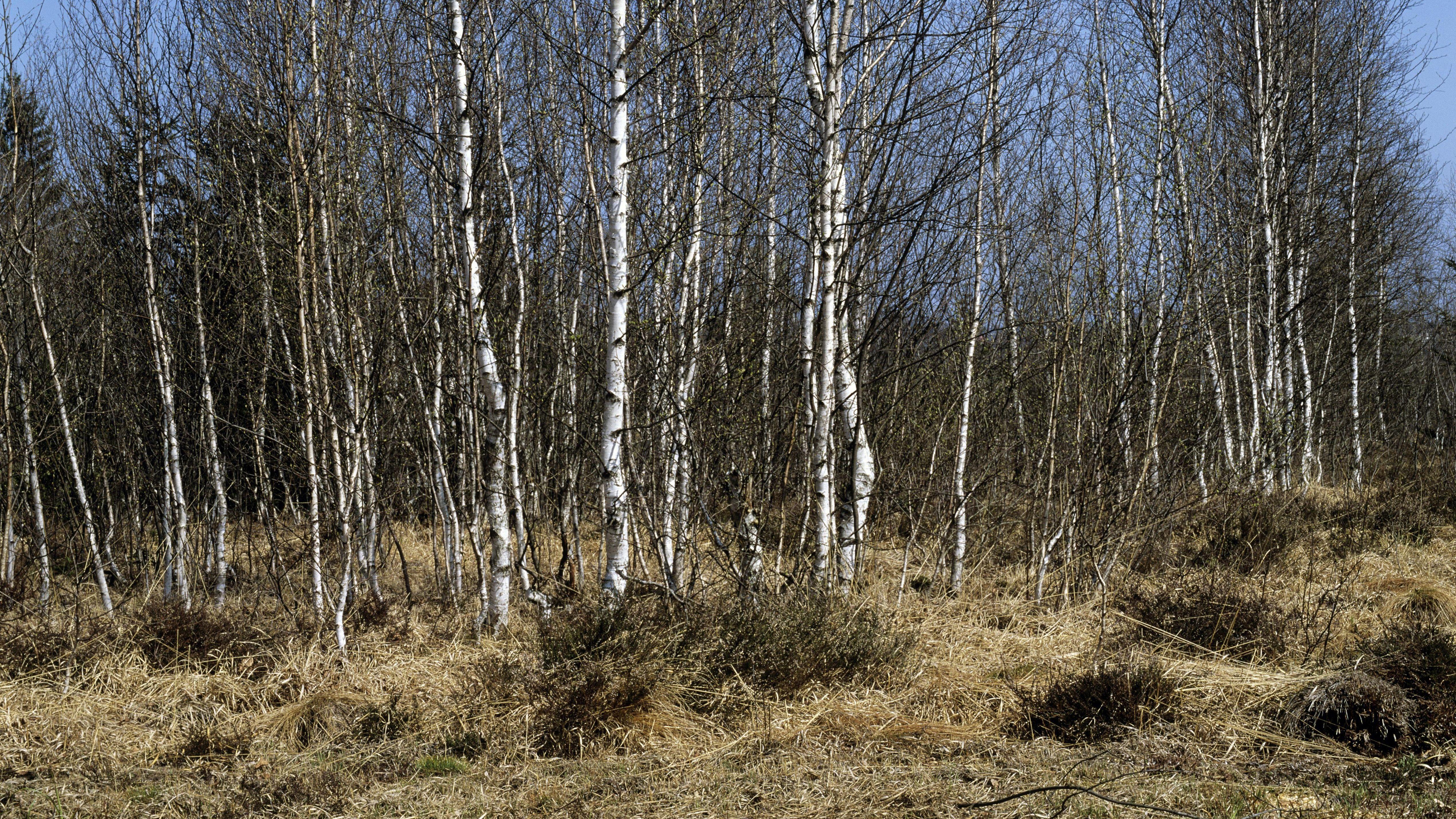 Birken und Waldboden