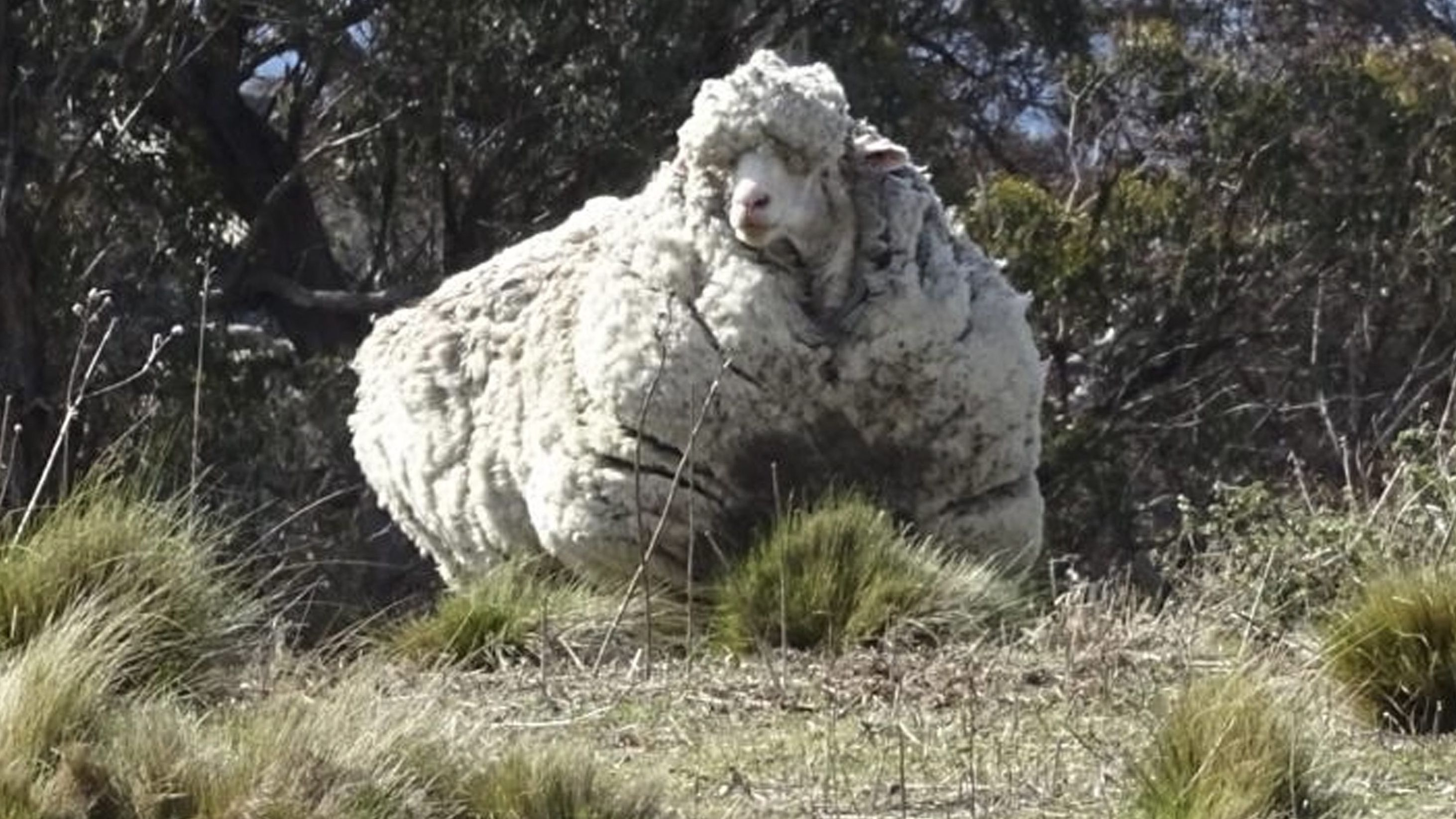 "Australisches Merino-Schaf ""Chris""."