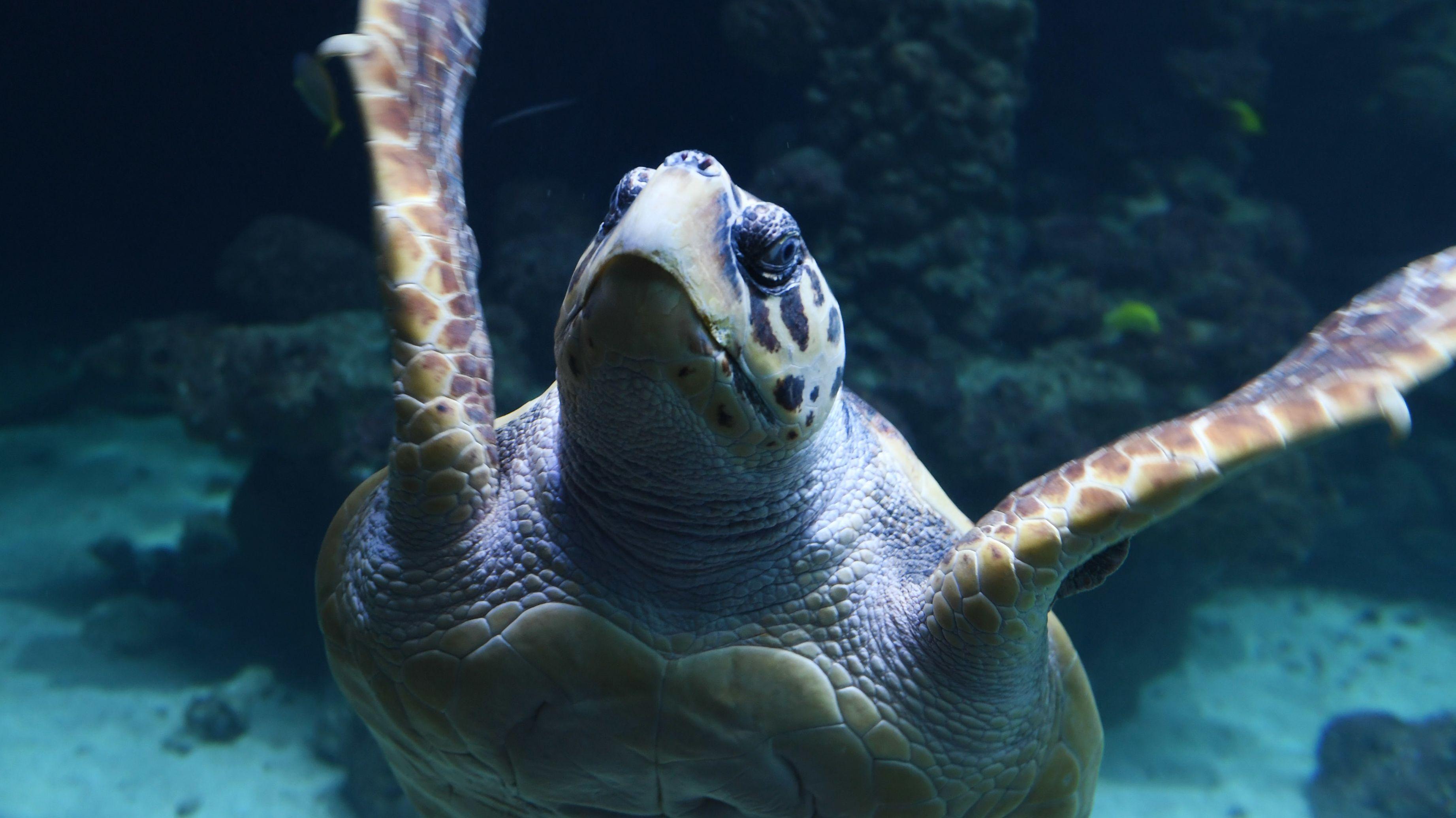 Eine Unechte Karettschildkröte schwimmt im Wasser.
