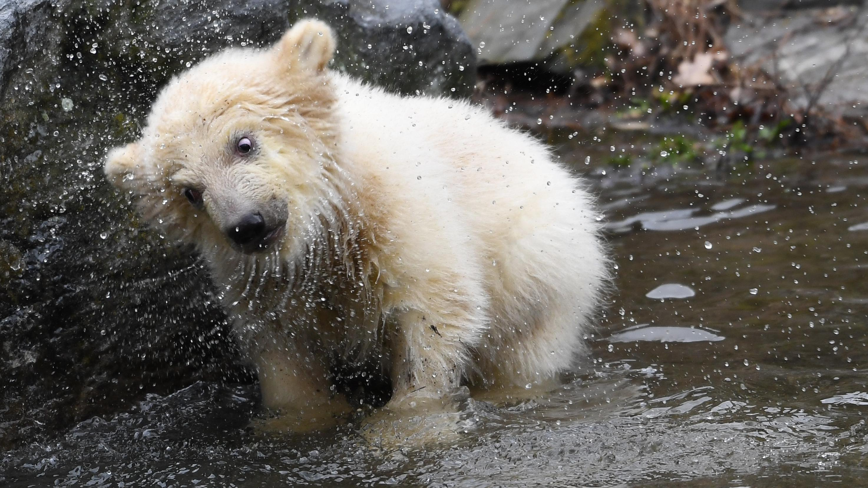 Die kleine, noch namenlose Eisbärin macht ihre erste Erkundungstour im Tierpark