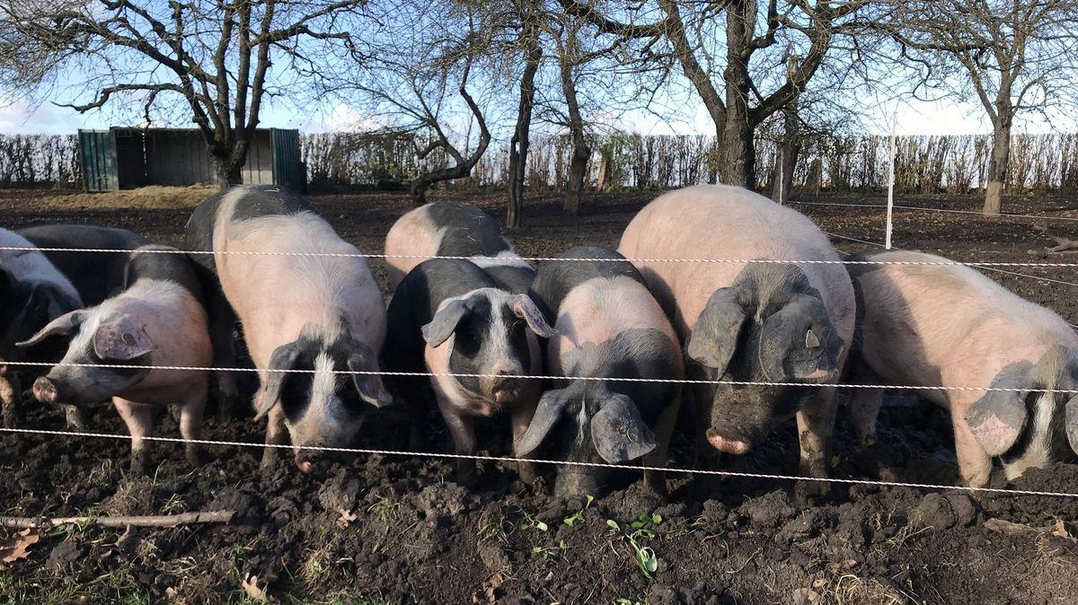 Weideschweine im Ries.
