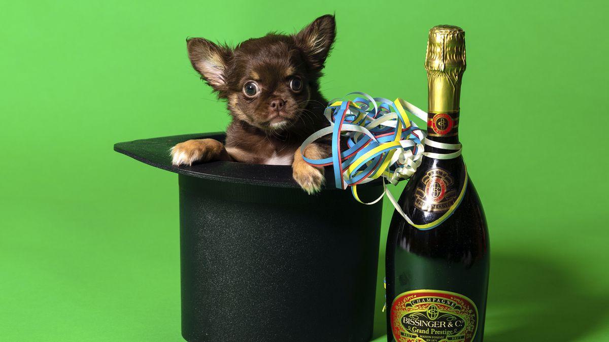 Chihuahua in Zylinder mit Sektflache