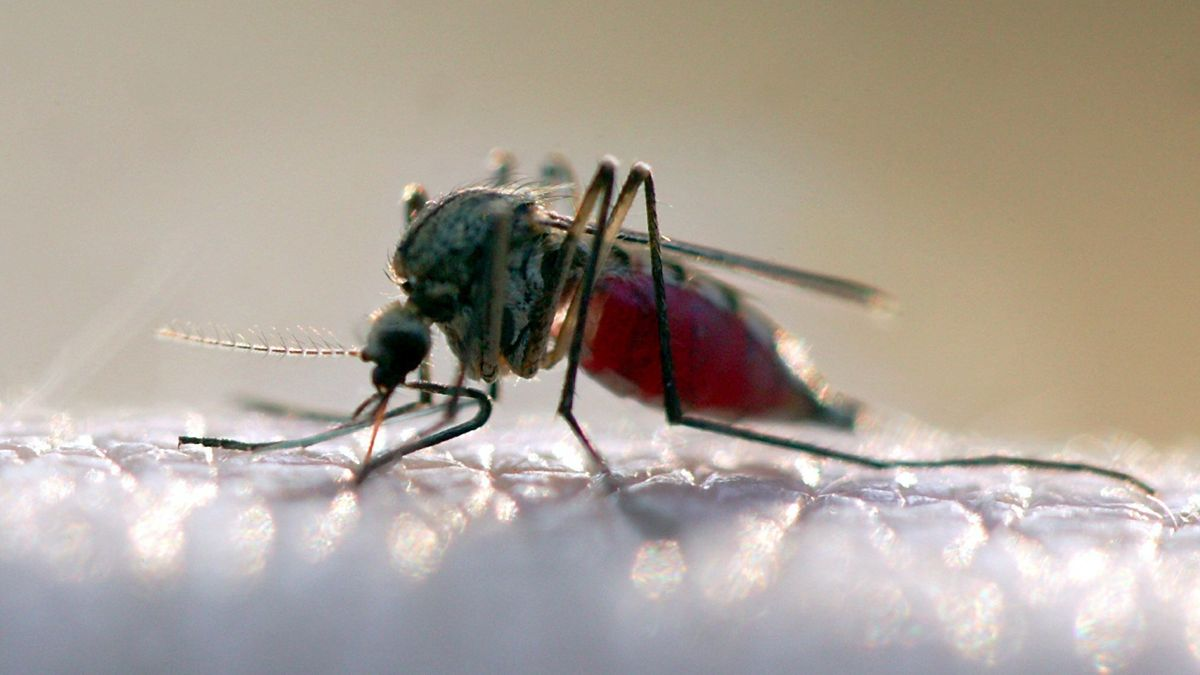 Mit Blut vollgesaugte Stechmücke