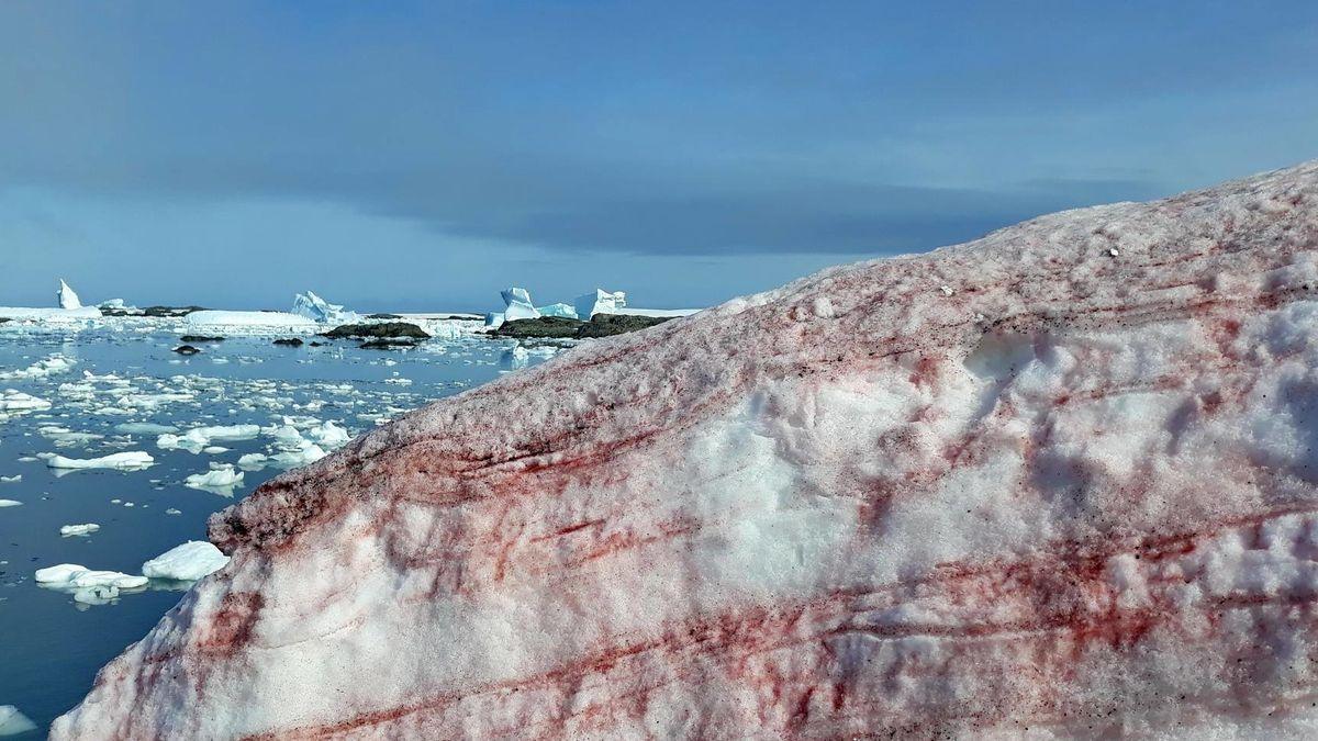 Blutiger Schnee in der Antarktis