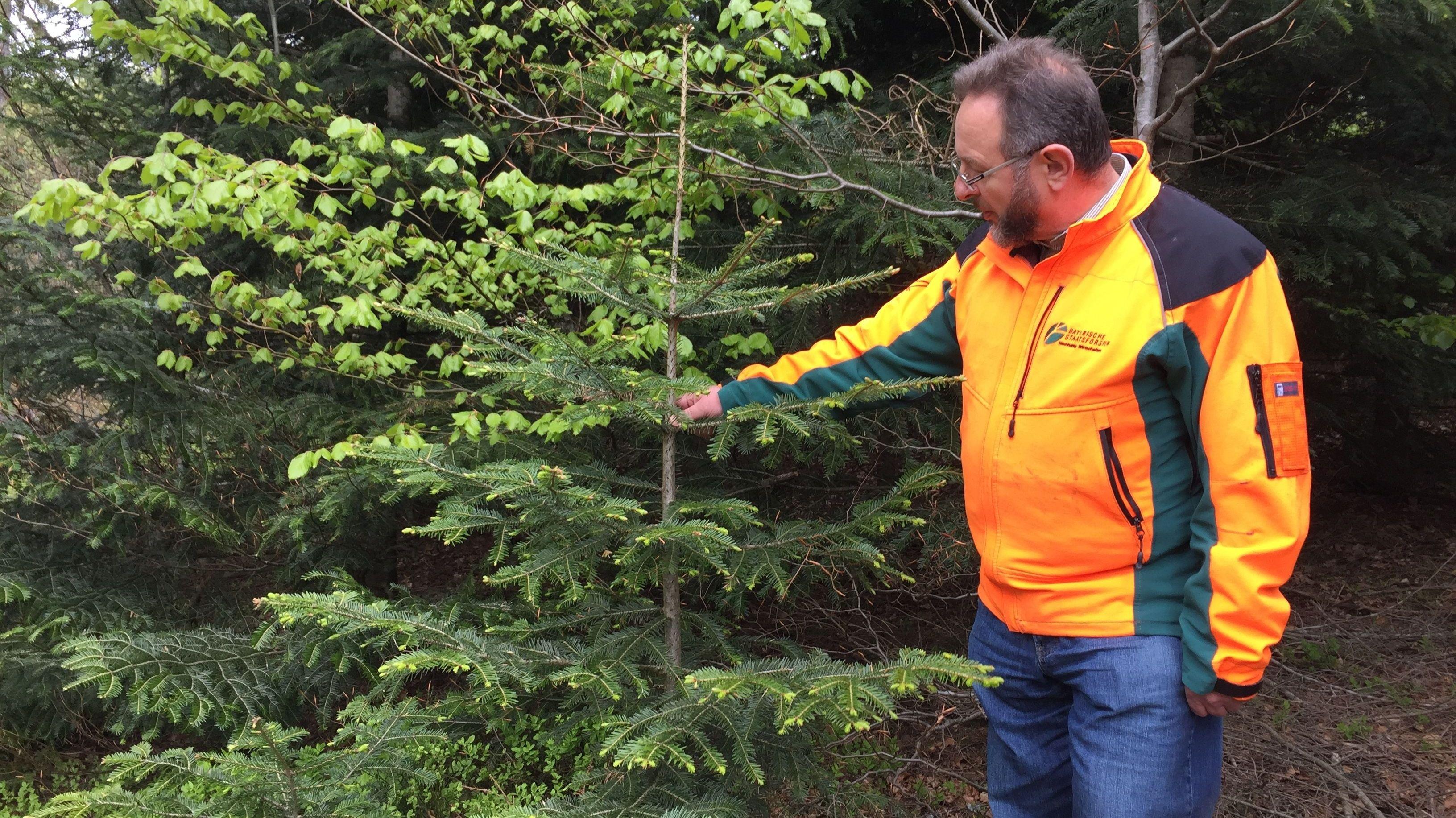 Jürgen Völkl, Leiter des Forstbetriebs Bodenmais, zeigt eine junge Tanne aus Naturverjüngung