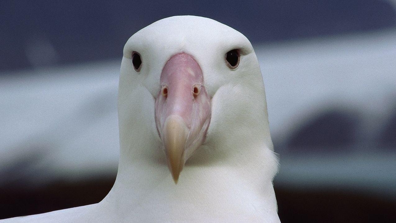 Wander-Albatros frontal