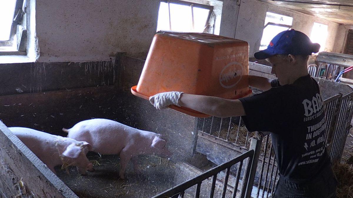 Frisches Stroh für die Schweine