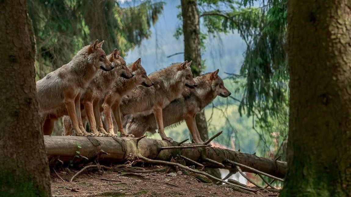 Wölfe im Bayerwald-Park in Lohberg