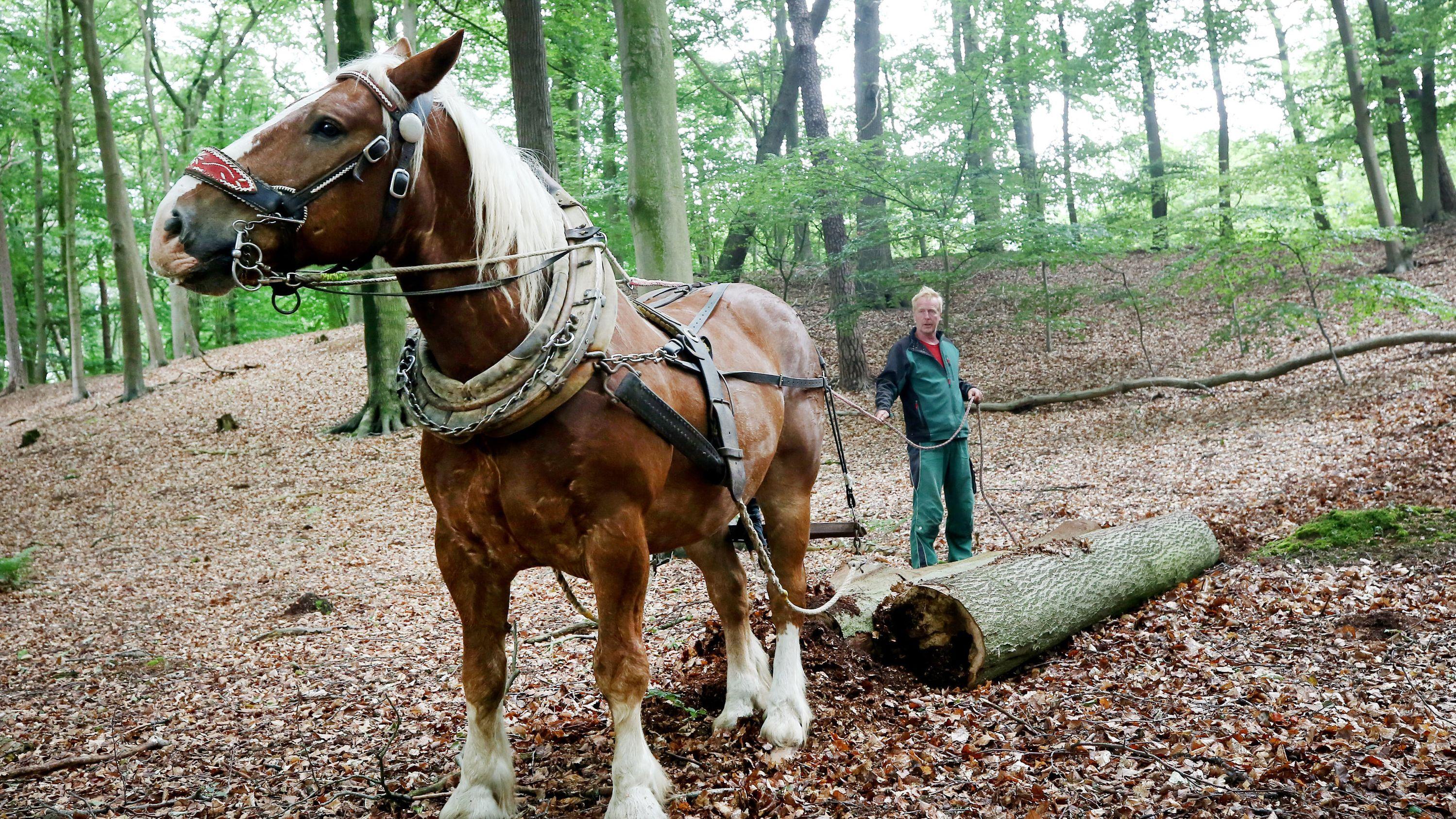 """Mit seinem Kaltblüter """"Sepp"""" zieht """"Pferderücker"""" Georg Stevens einen Baumstamm durch den Wald."""