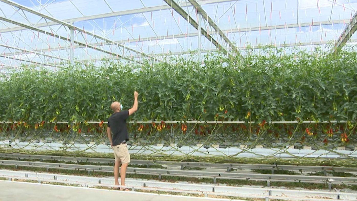 Gemüsegärtner Johannes Höfler in seinem Gewächshaus im Knoblauchsland, in dem Tomaten und Gurken wachsen