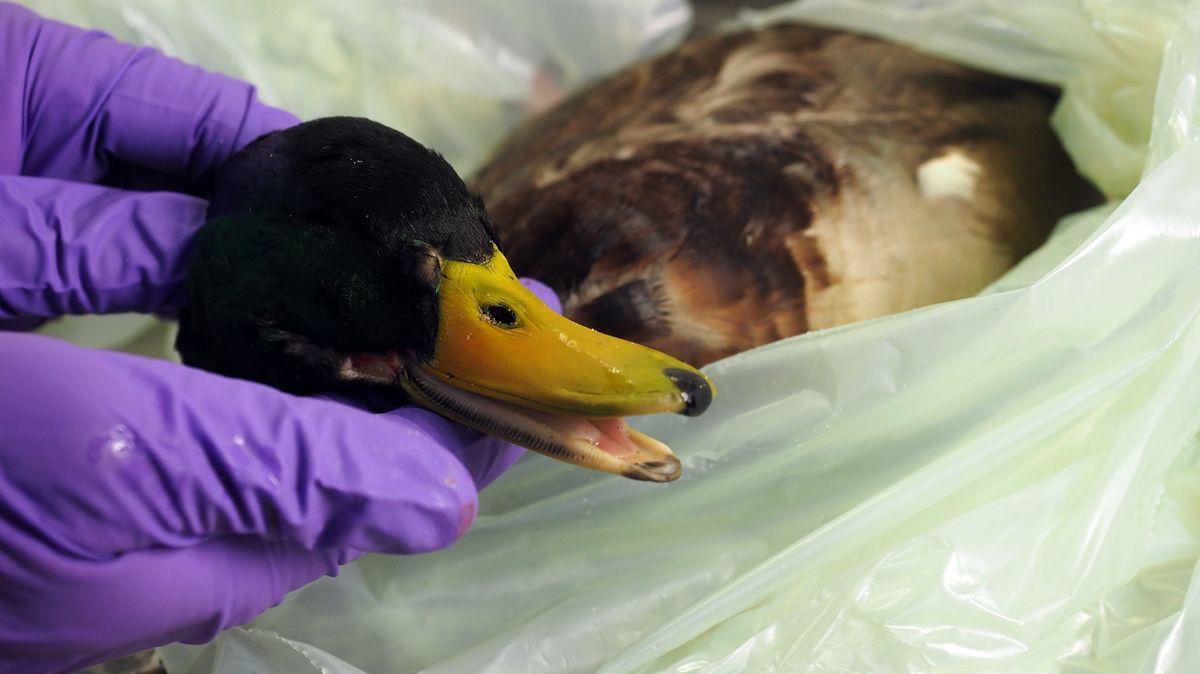Kadaver einer Stockente wird auf Vogelgrippe-Erreger untersucht