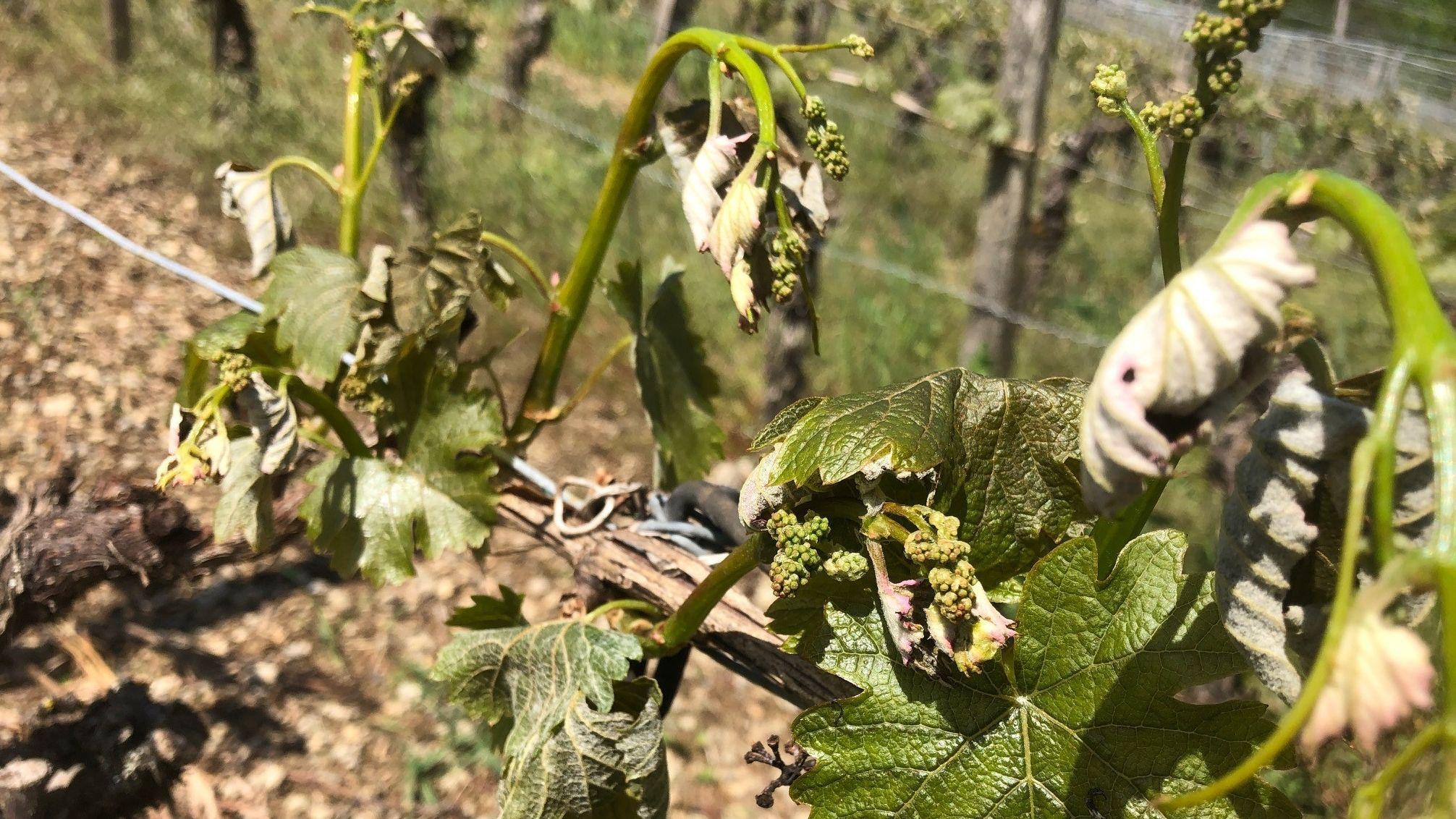 Erfrorene Weinreben in Ramsthal im Landkreis Bad Kissingen