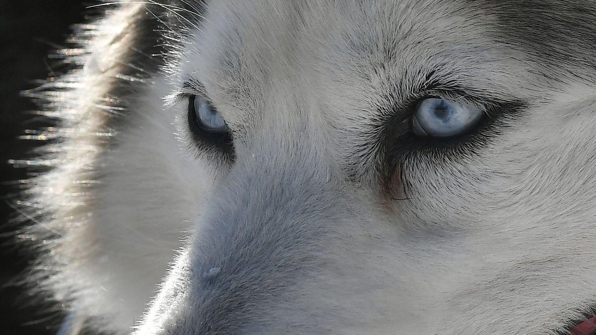 Ein Husky.