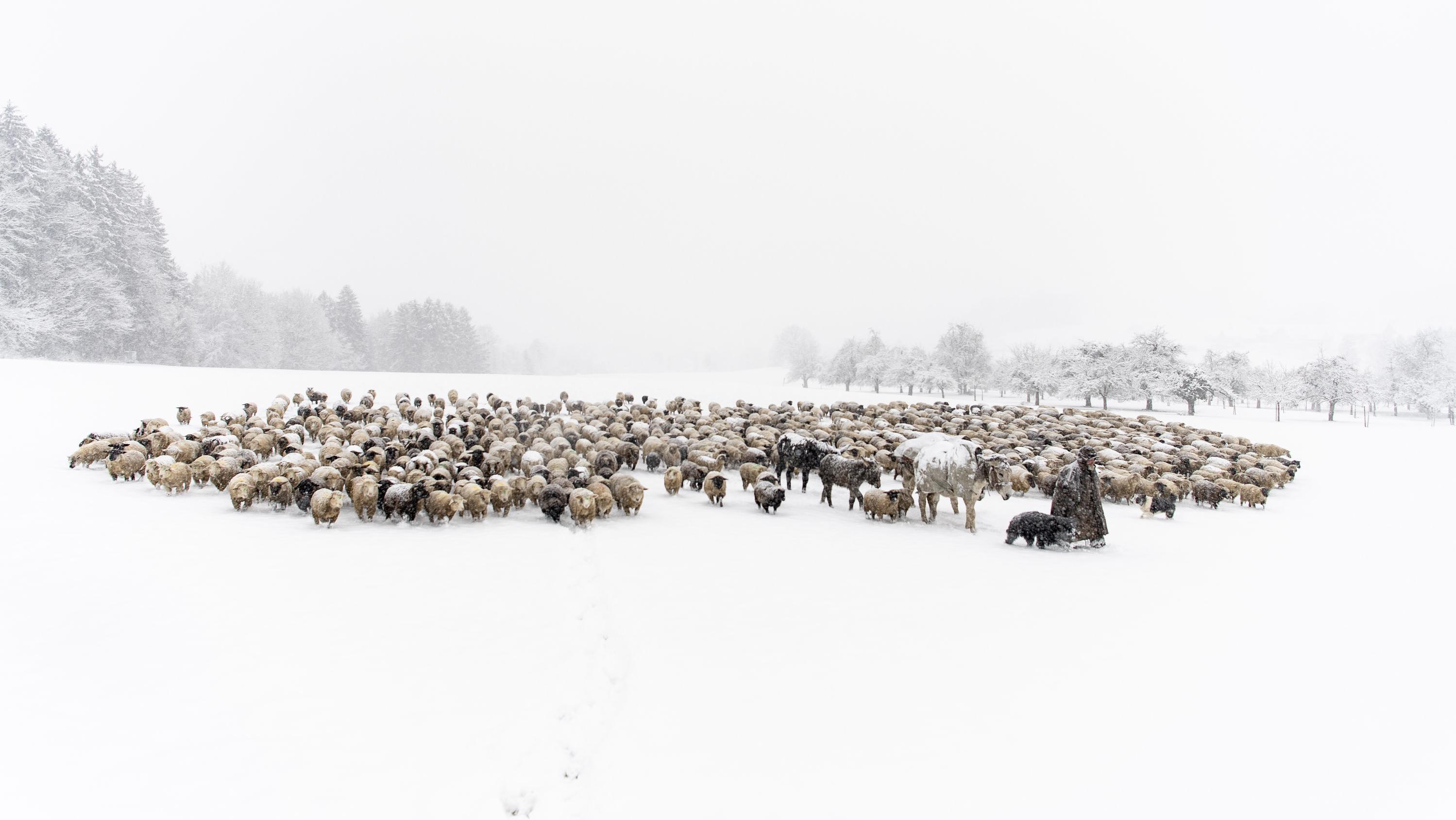 Schweiz, Oberbueren: Der Hirte Franco Vitali bringt seine Tiere auf eine andere Weide