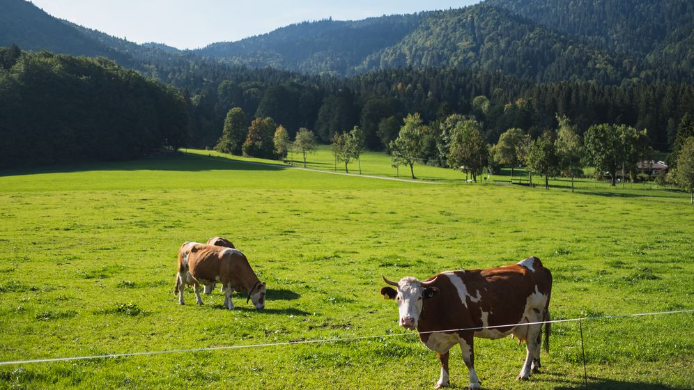 Kühe auf einer Weide in den bayerischen Alpen | Bild:BR/Sylvia Bentele