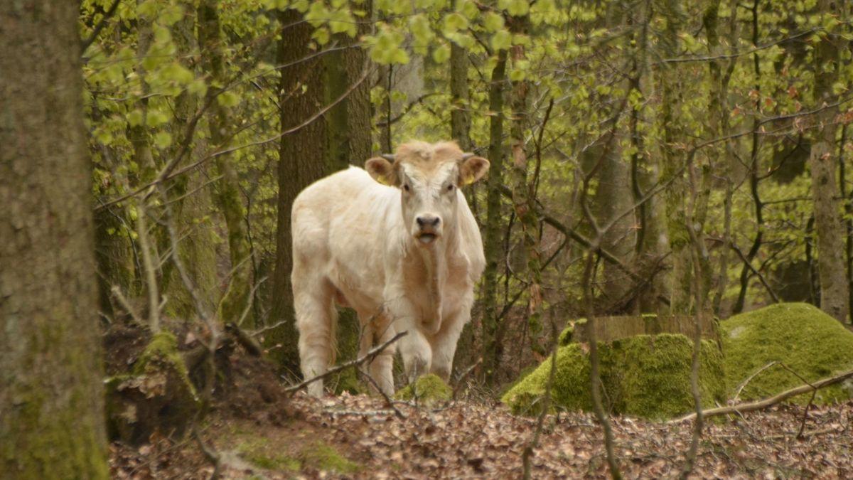 Der ausgebüxte Ferdinand im Wald