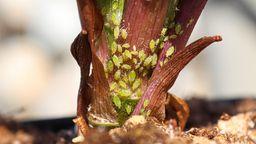 Grüne Blattläuse an einem Pflanzenstengel   Bild:picture alliance / Zoonar   Amelia Martin