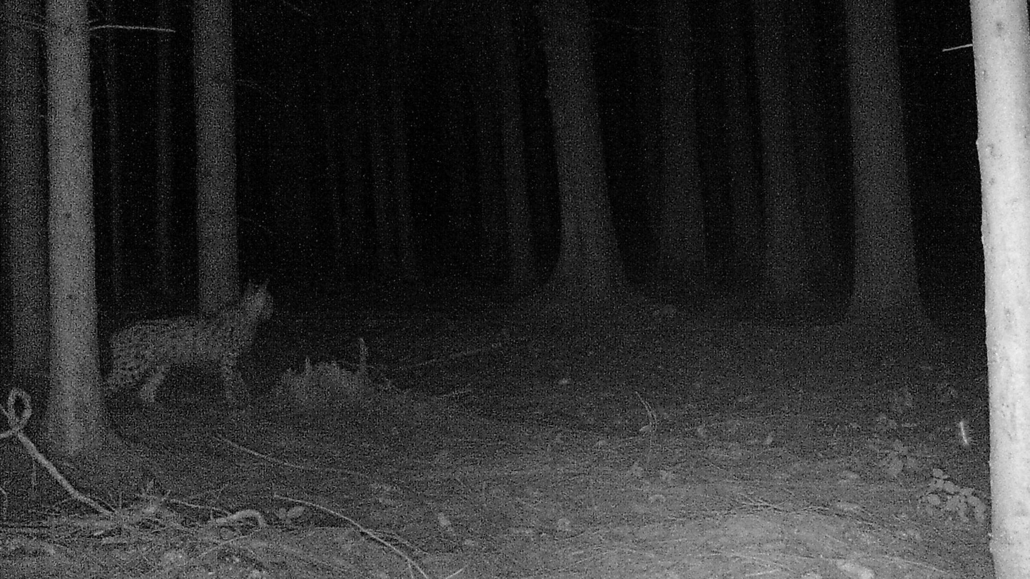 Der Luchs, der bei Arnstorf von einer Wildkamera fotografiert wurde