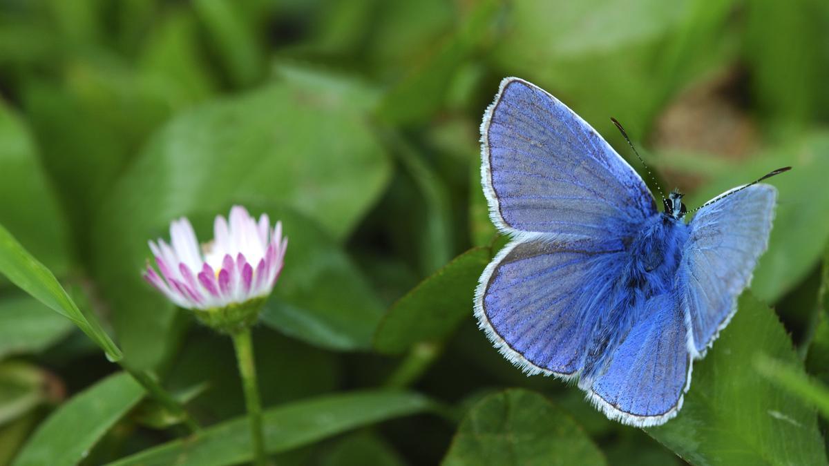 Himmelblauer Bläuling neben Gänseblümchen