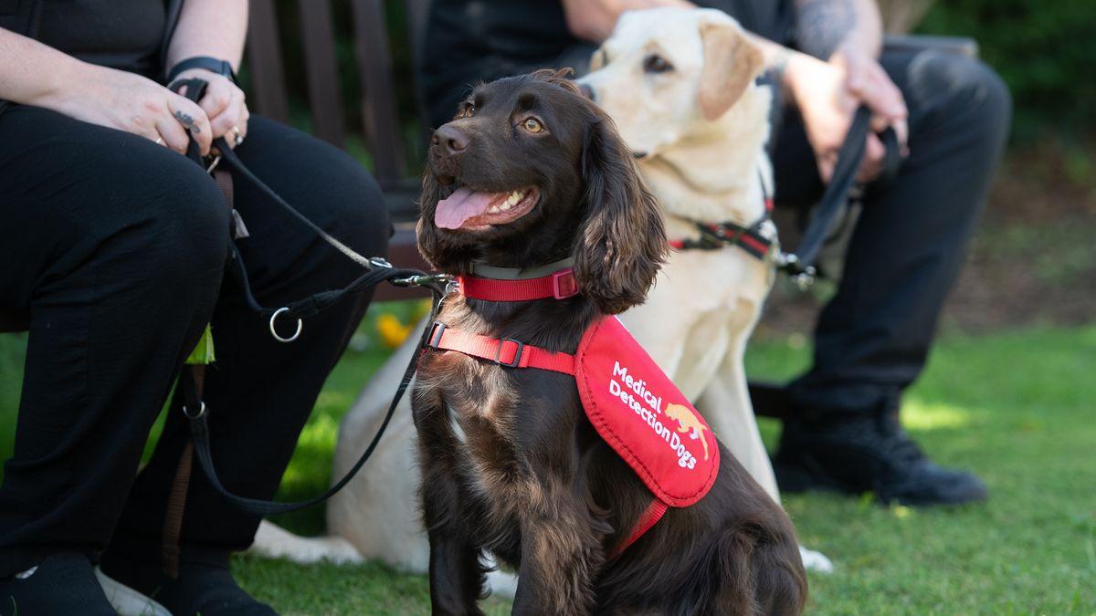 Die medizinischen Spürhunde Bramble (links) und Lexi bei einem Versuch, der zeigen soll, ob Hunde Covid-19 erschnüffeln können.