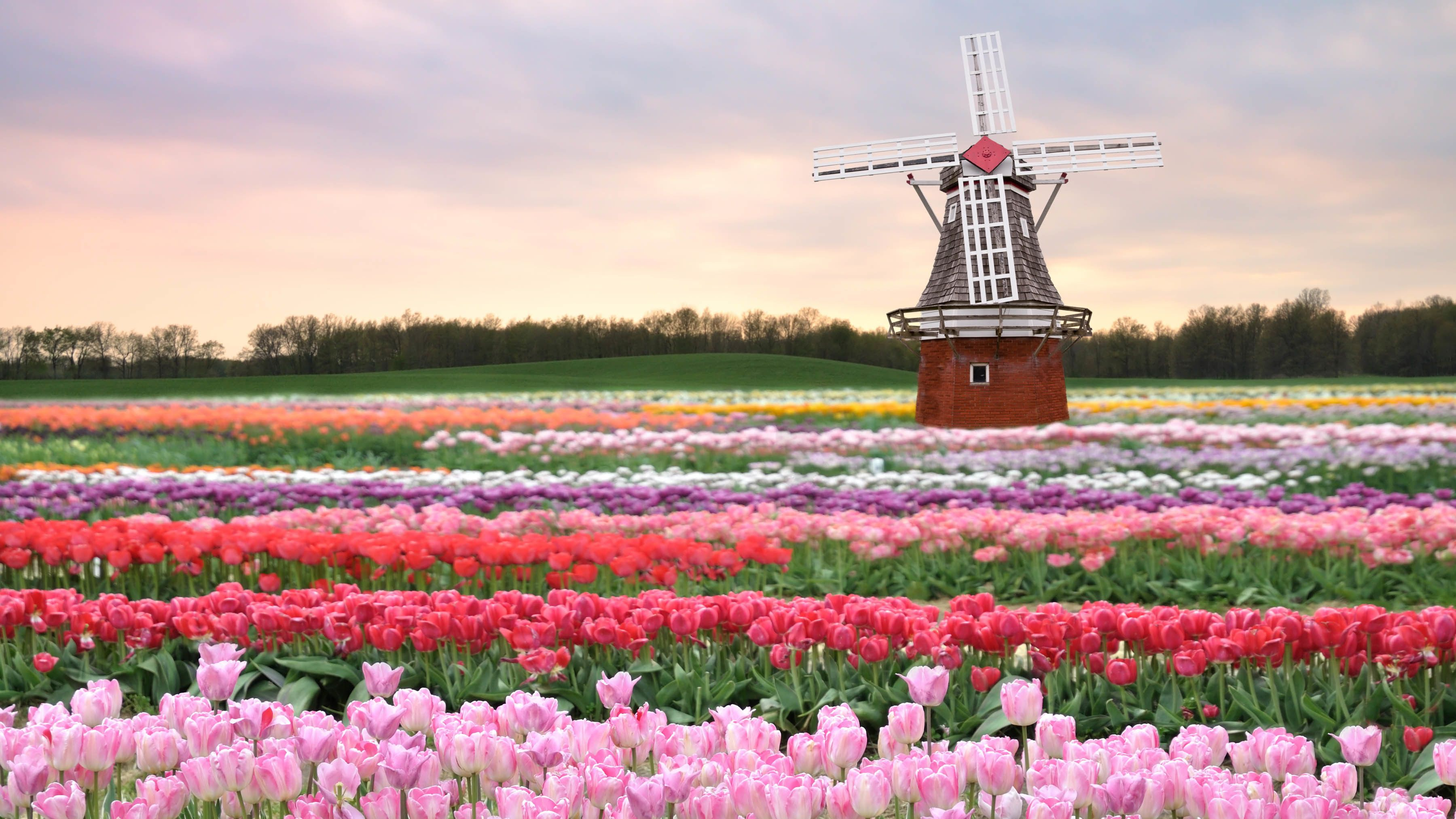 Blumenfeld in Holland mit einer Windmühle im Hintergrund