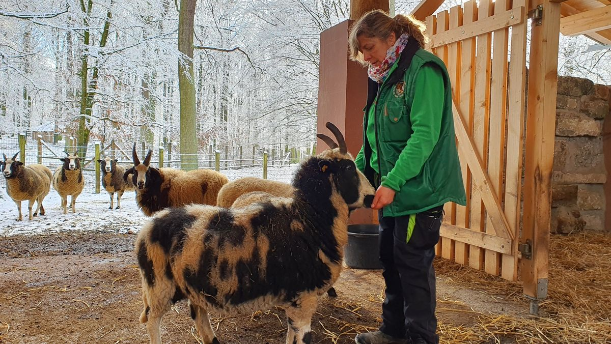 Die Tierpflegerin Nicol Metzger bei der Fütterung der Jakobschafe