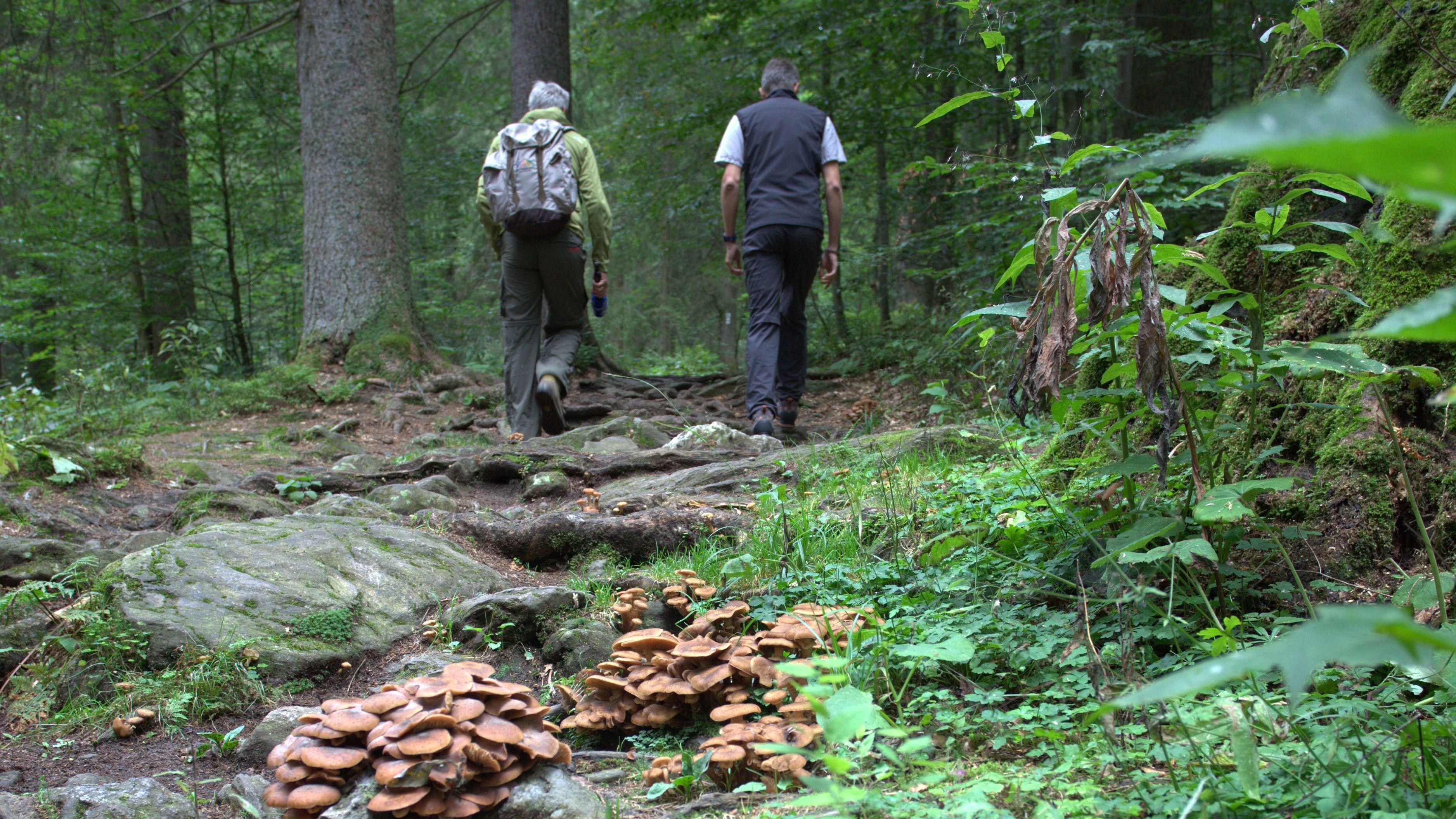 Der Weg führt über Stock und Stein an Flechten, Moosen, uralten Bäumen und Pilzen vorbei