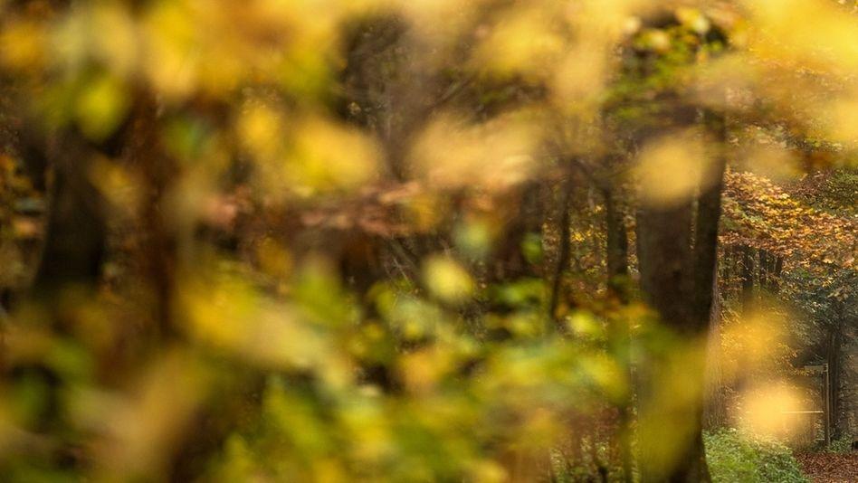 Bäume mit gelben Blättern im Wald (Symbolbild)