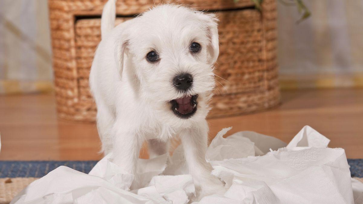 Junger weißer Hund zerfetzt Klopapier