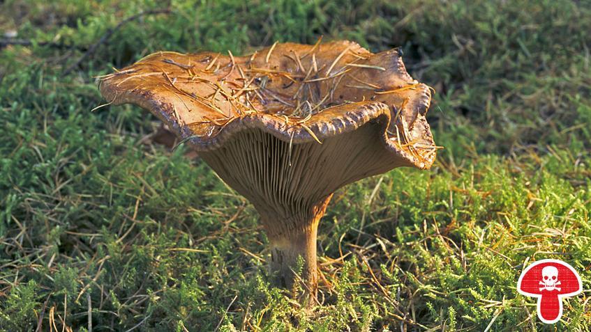 Ältere Pilze können sich im Aussehen gewaltig von jüngeren unterscheiden. Das gilt auch für den Kahlen Krempling. Die Lamellen werden mit der Zeit dunkler, bis hin zu schwarz.
