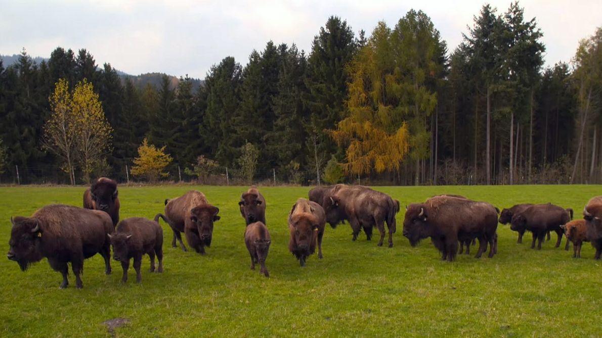 Bisons stehen auf einer Wiese.