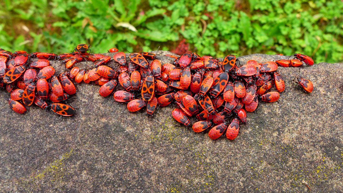 Viele rot-schwarze Feuerwanzen sitzen dichtgedrängt auf einer grauen Mauer.