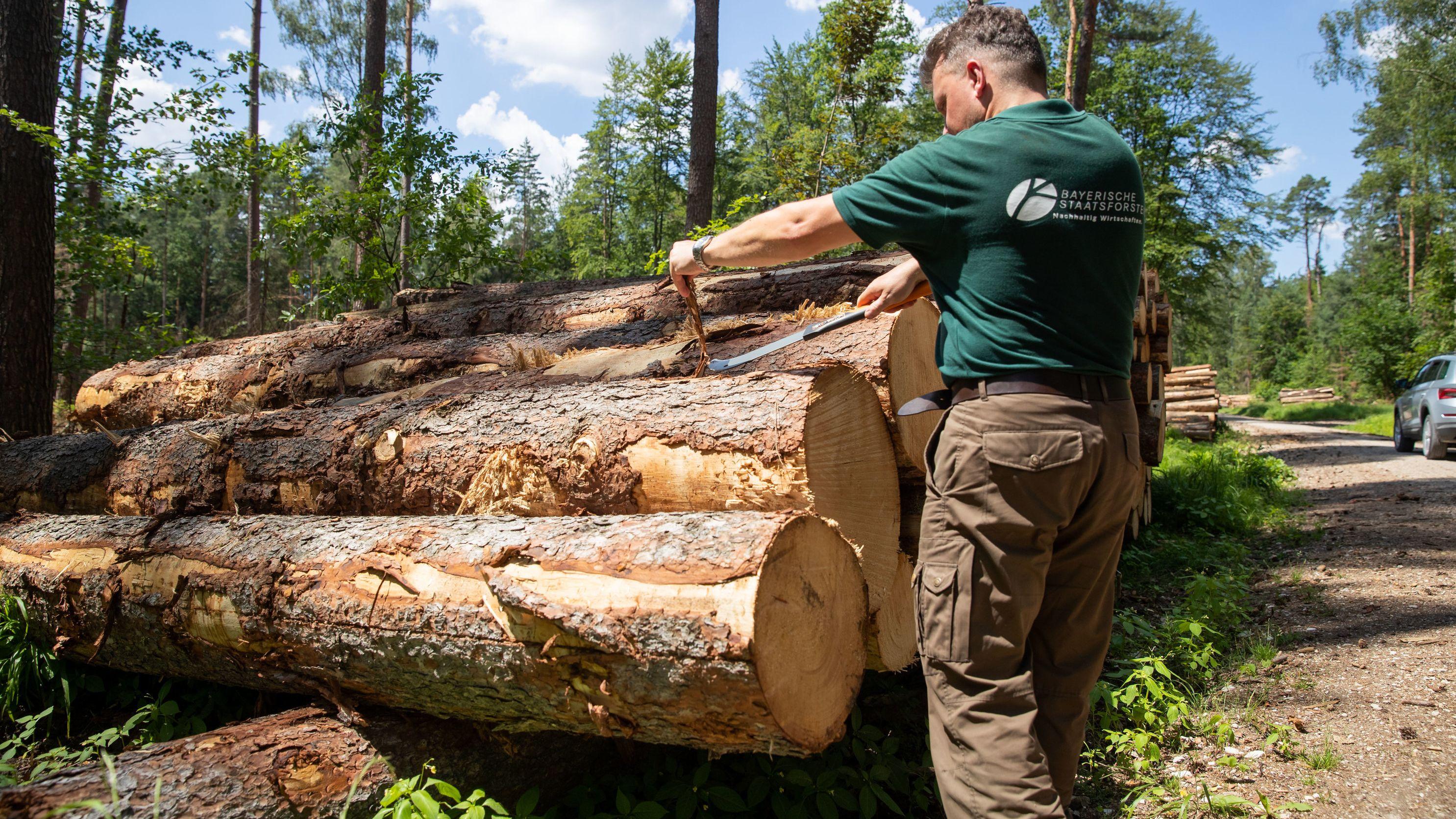 Heiko Stölzner, stellvertretender Leiter des Nürnberger Forstbetriebs, prüft frisch geschlagenes Fichten-Käferholz auf Borkenkäferbefall.