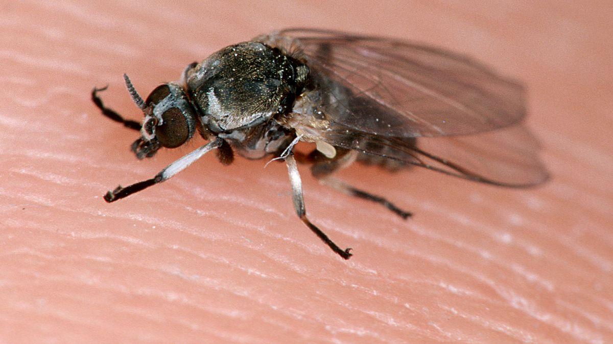 Eine Kriebelmücke auf Haut