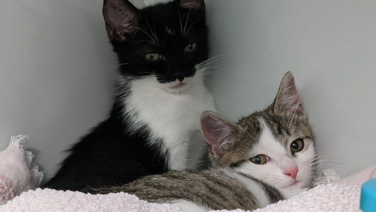 zwei junge Katzen , eine schwarz weiß, die andere braunweiß
