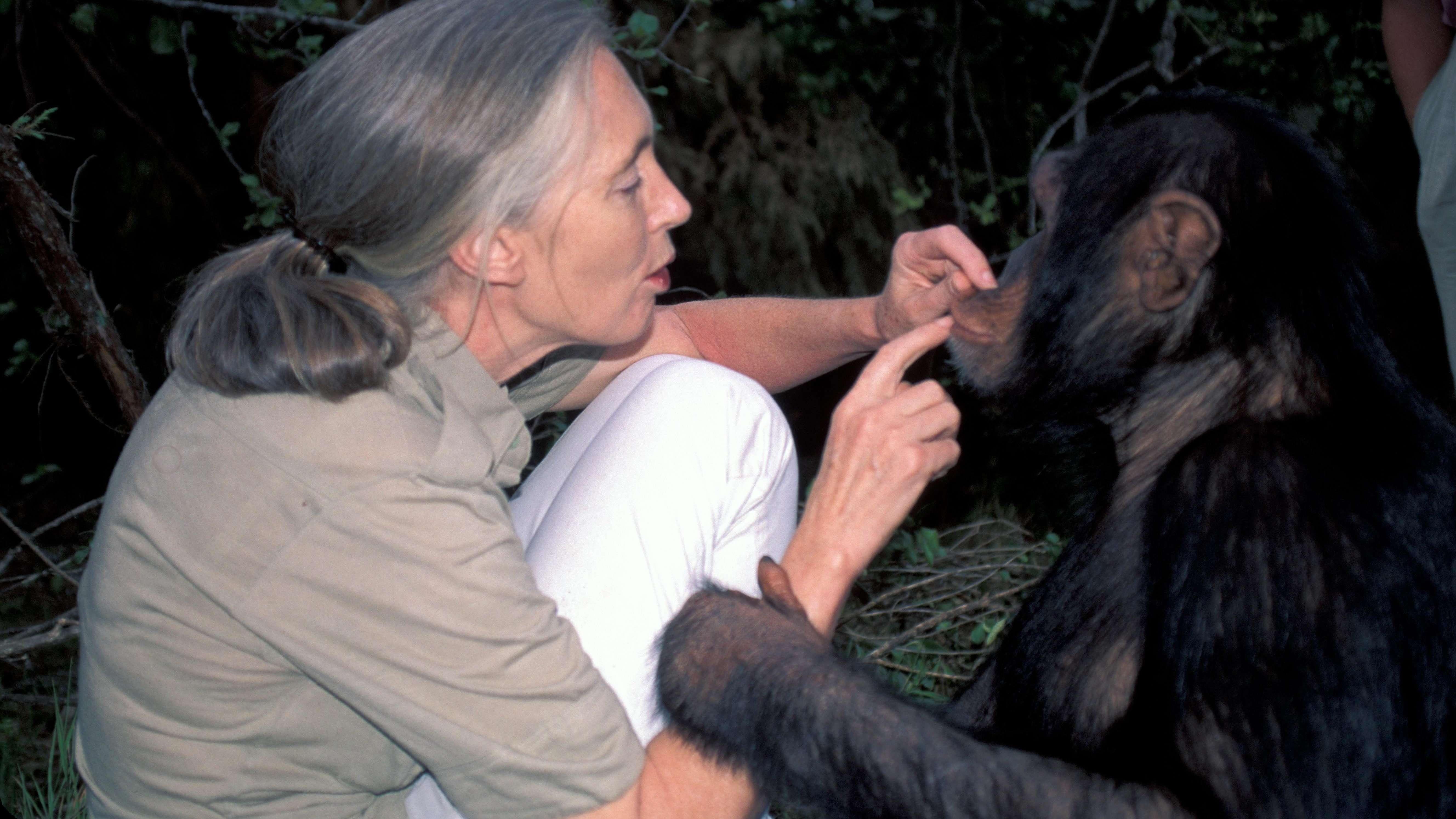 Schimpansenforscherin Jane Goodall mit männlichem Schimpansen