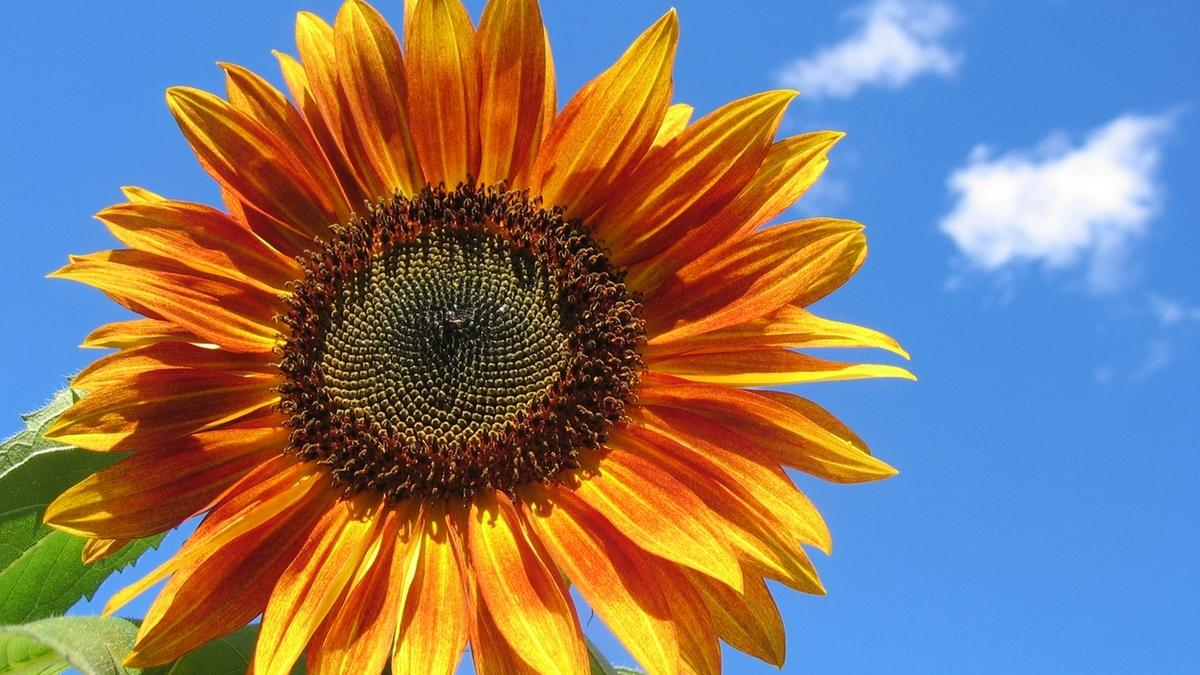 Sonnenblume Blütenstand