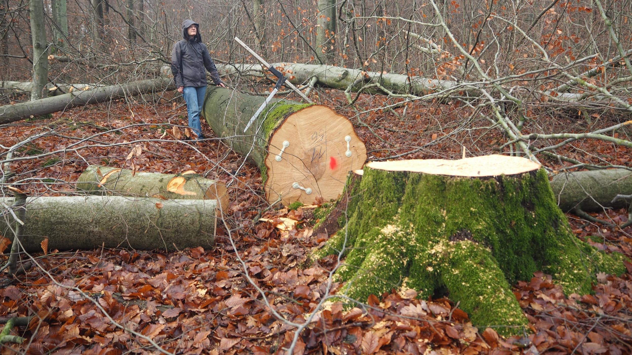 Gefällte Bäume im Steigerwald