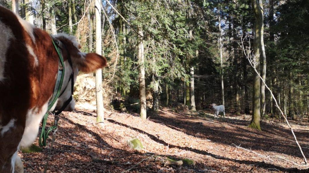 """Auge in Auge: Lockrind """"Michel"""" und der weiße Stier """"Ferdinand"""""""